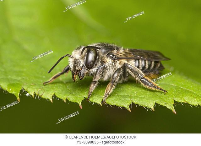 A Mason Bee (Osmia sp. ) perches on the edge of a leaf