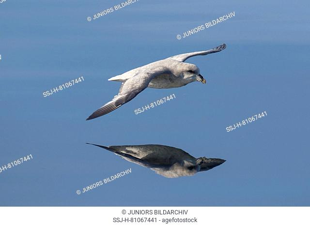 Northern Fulmar (Fulmarus glacialis). Adult in flight above the sea. Svalbard