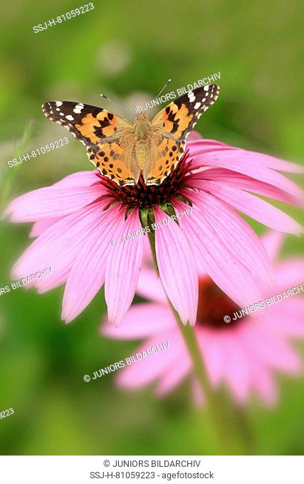 Painted Lady, Thistle Butterfly (Vanessa cardui, Cynthia cardui) feeding on purple coneflower