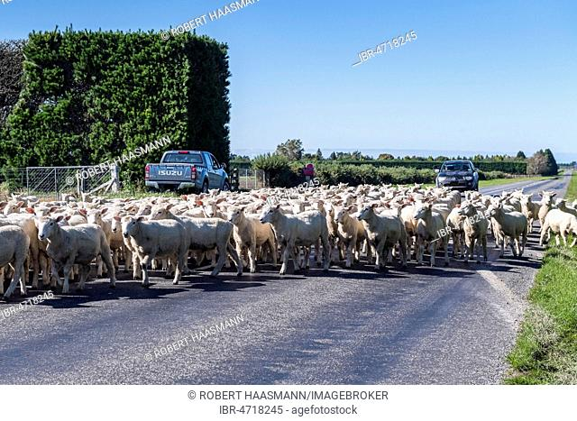 Sheep herd on street, Canterbury region, South Island, New Zealand