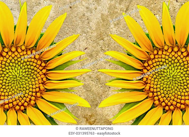 Two sunflower closeup on cement background