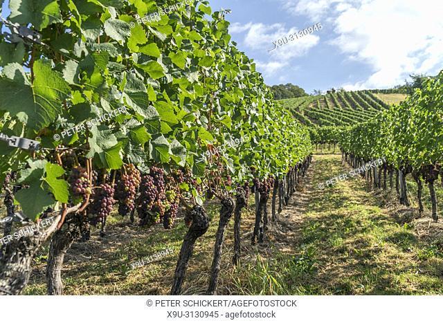 Weinberg in Sasbachwalden, Schwarzwald, Baden-Württemberg, Deutschland | vineyard, Sasbachwalden, Black Forest, Baden-Württemberg, Germany