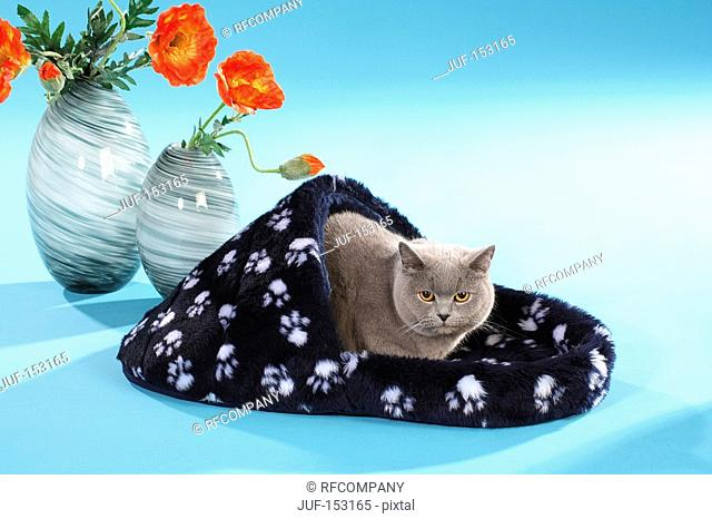 domestic cat in cat bed