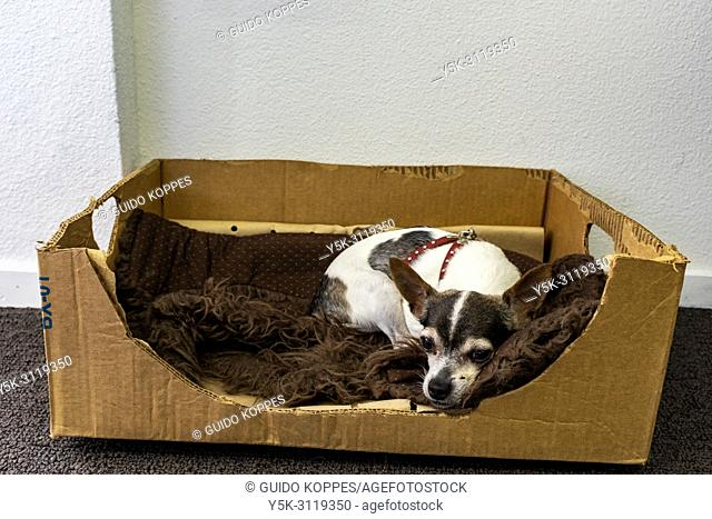 Rotterdam, Netherlands. Litte ienie minie chihuahua doggie resting out inside his office located carton box basket