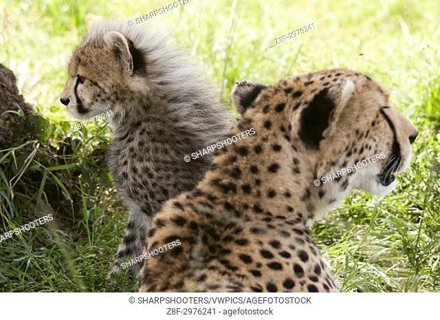 Cheetah (Acynonix jubatus), Masai Mara, Kenya
