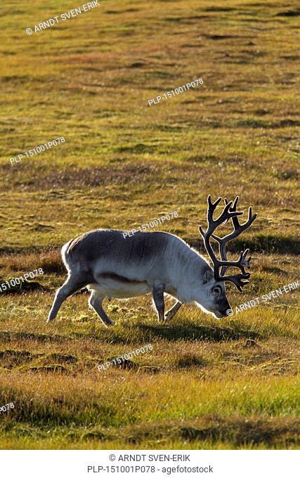 Svalbard reindeer (Rangifer tarandus platyrhynchus) male with antlers covered in velvet on the tundra in summer, Svalbard / Spitsbergen, Norway