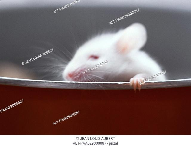 White mouse, holding on to edge of container