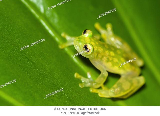 La Palma Glass Frog - Hyalinobactrachium valerioi, Understory Enterprises, Captive raised, Native to: Costa Rica