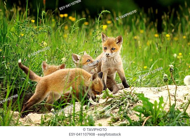 cute fox brothers playing the burrow ( Vulpes )