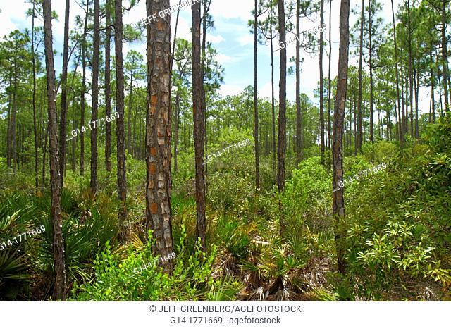 Florida, Naples, Everglades, Corkscrew Swamp Sanctuary & Blair Audubon Center, preserve, watershed, pine flatwoods, trees