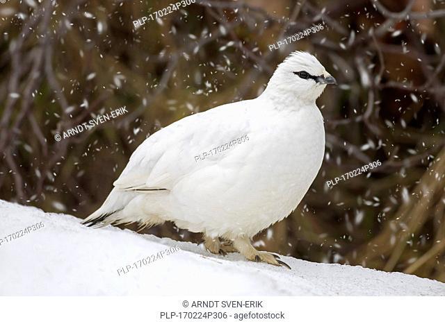 Rock ptarmigan (Lagopus muta / Lagopus mutus) female in winter plumage during snow shower