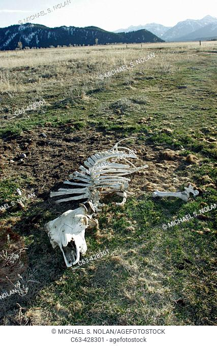 Adult American Bison (Bison bison) skeleton found near Jackson Hole, at the base of the Teton Mountain Range, Wyoming