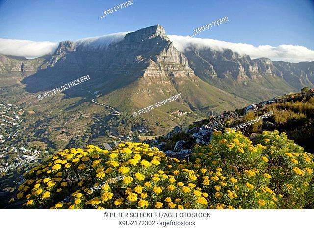 yellow flowers of Fynbos and the table mountain in Cape Town, Western Cape, South Africa