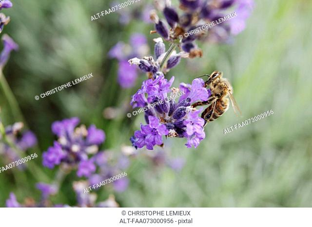 Bee gathering pollen on lavender