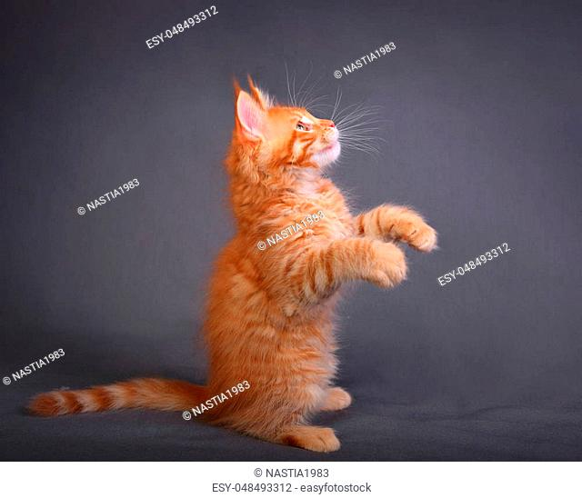 Beautiful adorable red solid maine coon kitten profile standing on two feet with beautiful brushes on the ears on grey background and looking up