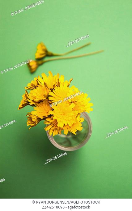 Still-life nature photo of dandelion flower clippings on vivid green background. Floral stills