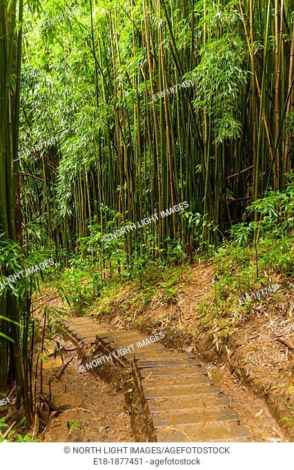 USA, Hawaii, Oahu  Manoa Falls trail trough the rain-soaked jungle