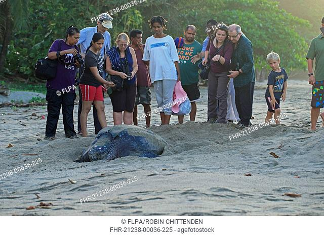 Leatherback Turtle (Dermochelys coriacea) adult female, digging hole and laying eggs in sand on beach at dusk, with tourists watching, Trinidad and Tobago