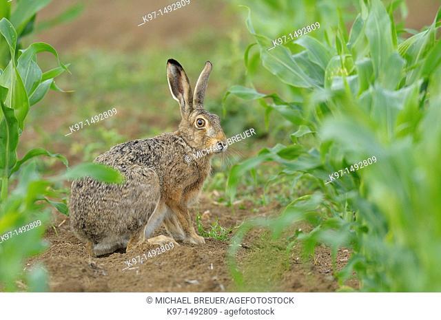 European brown hare in maize field, Lepus europaeus, Hessen, Germany, Europe