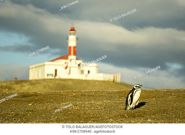 Chile, Patagonia, Magdalena island, Strait of Magellan, colony of Magellanic penguins (Spheniscus magellanicus)