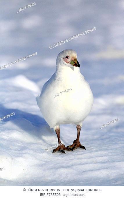 Snowy Sheathbill (Chionis alba), adult, Weddell Sea, Antarcticaca