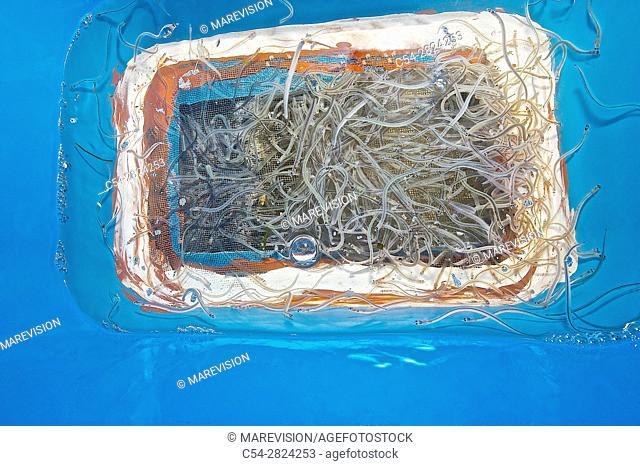 Professional river fishing of the European eel. Boat for fishing European eel. Glass eel. River eel. Young eels (Anguilla anguilla). Miño river
