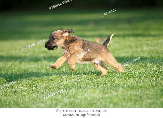 Westfalia / Westfalen Terrier, puppy running across garden lawn, Germany