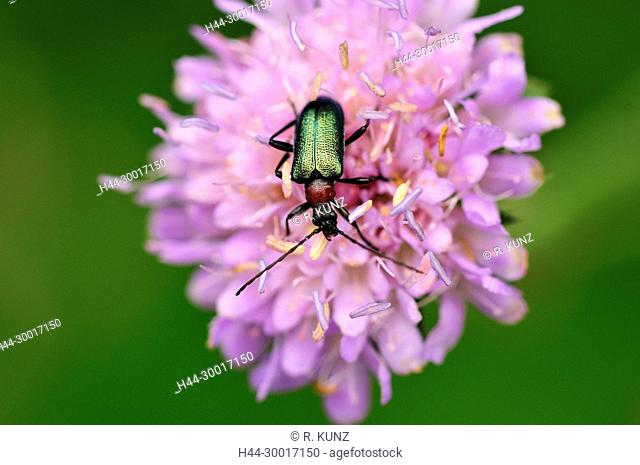Cereal leaf beetle, Oulema melanopus, Chrysomelidae, Leaf beetle, beetle, insect, animal, on scabiosa, Andeer, Canton of Grisons, Switzerland