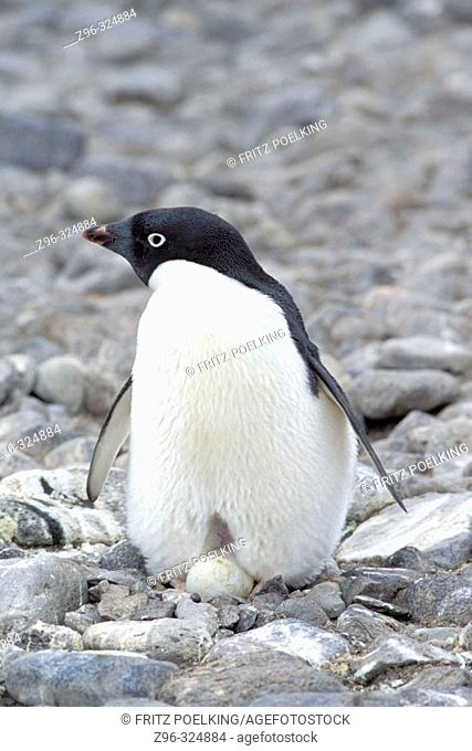 Adelie Penguin (Pygoscelis adeliae). Antarctica
