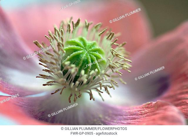 Opium poppy, Papaver somniferum, Very close view of centre of a pink flower showing the stamens and ridged green stigma with granules of pollen on it