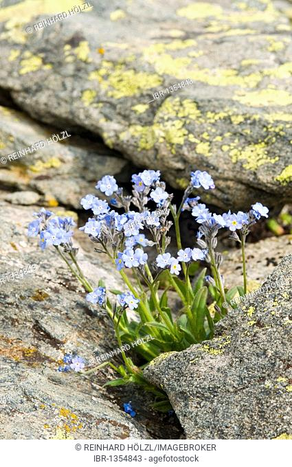Water Forget-me-not or True Forget-me-not (Myosotis scorpioides), Gran Paradiso National Park, Valle d'Aosta, Italy, Europe