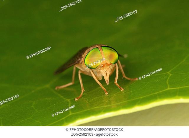 Green eyed fly, NCBS, Bangalore, India