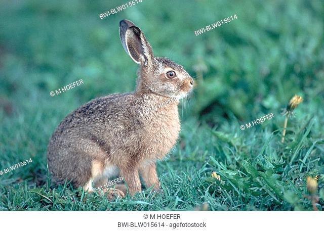 European hare Lepus europaeus, juvenil, Mai 96