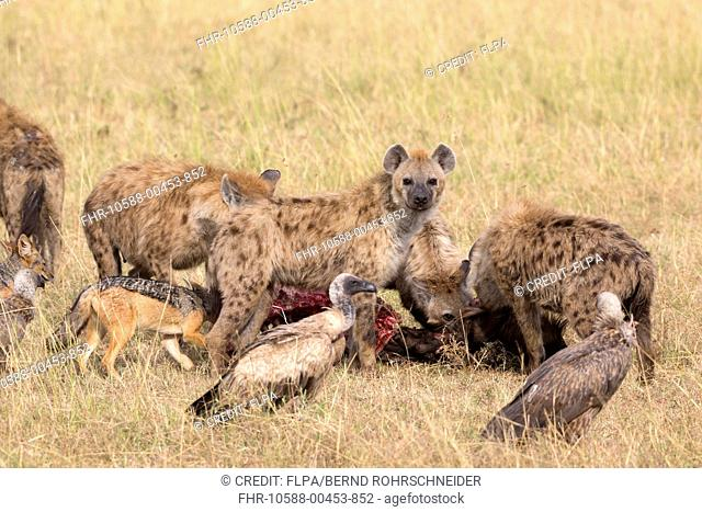 Spotted Hyena (Crocuta crocuta), Black-backed Jackal (Canis mesomelas) and White-backed Vulture (Gyps africanus) group, feeding on carcass in grassland