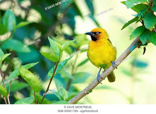 Spectacled Weaver (Ploceus ocularis) perched on a branch, Malawi, Blantyre