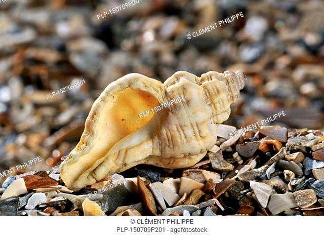 Sting winkle / Oyster drill / Hedgehog Murex (Ocenebra erinacea) washed on beach