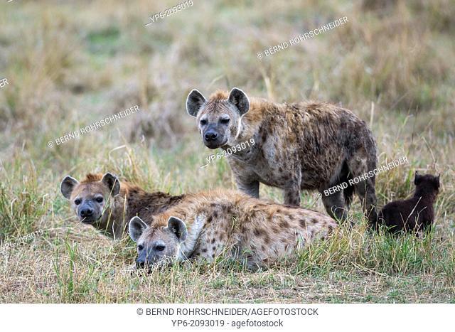 Spotted Hyenas (Crocuta crocuta) with cub, Masai Mara, Kenya