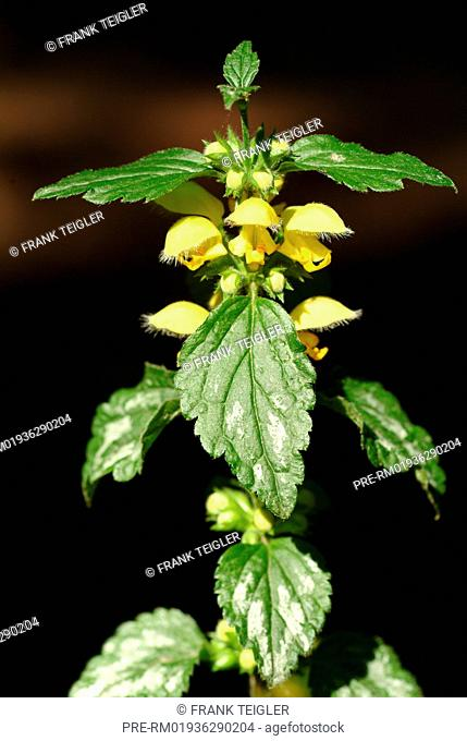 Yellow Archangel, Lamium galeobdolon / Gewöhnliche Taubnessel, Lamium galeobdolon