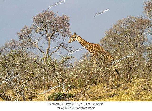 Southern Giraffe (Giraffa camelopardalis giraffa) - Female. Savuti, Chobe National Park, Botswana