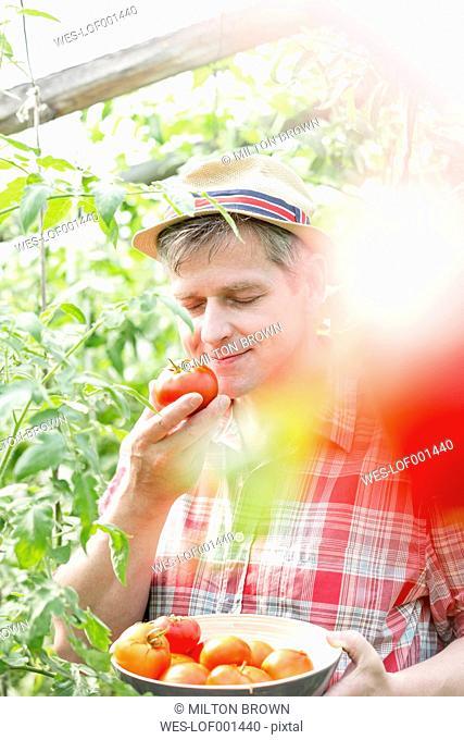 Farmer on organic farm smelling at tomato