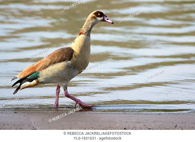 An Egyptian goose walks on the shore of a lake in Ethiopia