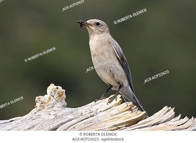 Mountain bluebird Sialia currucoides, female with large ant, on Colorado bristlecone pine log Pinus aristata, Mount Goliath Natural Area