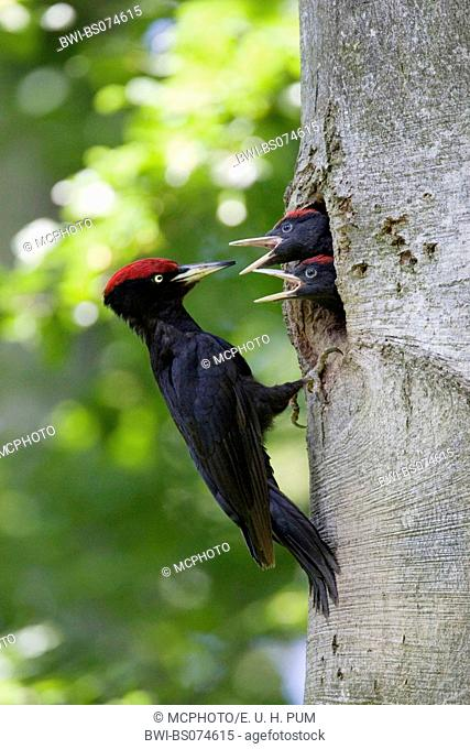 black woodpecker (Dryocopus martius), sitting in front of breeding cave, feeding the young, Austria