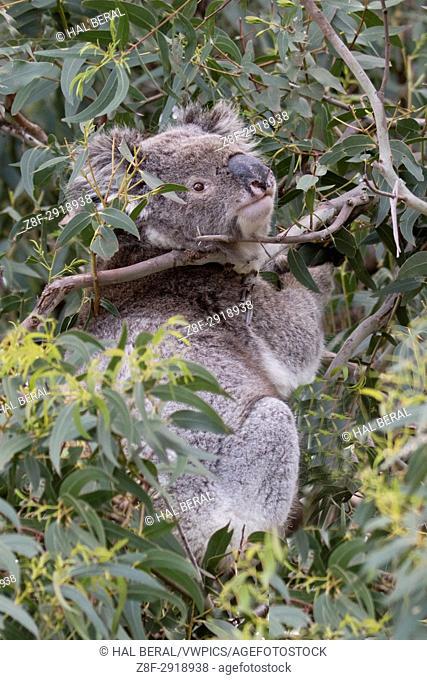 Koala (Phascolarctos cinereus) Otway National Park, Victoria, Australlia