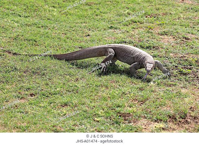 Bengal Monitor, (Varanus bengalensis), adult searching for food by using tongue, licking, Udawalawe Nationalpark, Sri Lanka, Asia