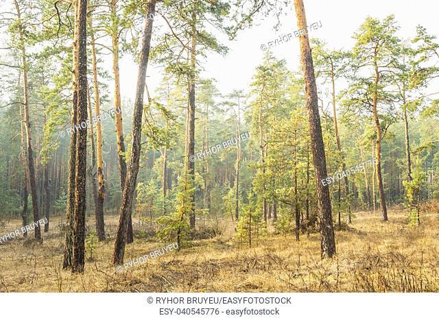 Gomel, Belarus. Autumn Misty Forest Landscape. Scenic View