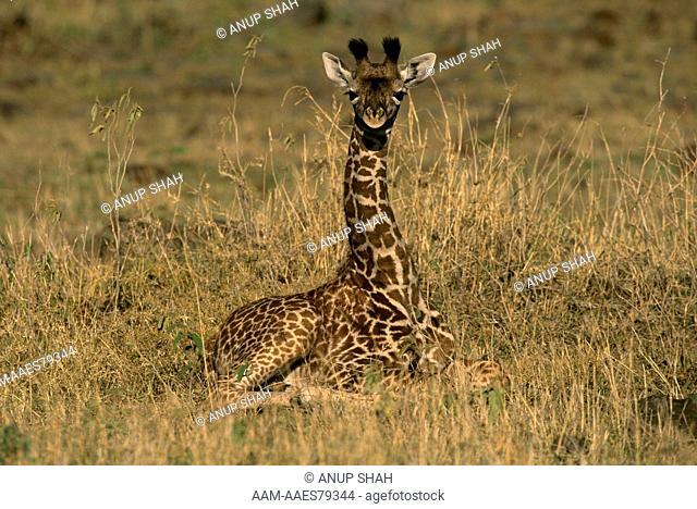 Maasai Giraffe Calf (Giraffa camelopardalis tippleskirchi) Mara, Kenya