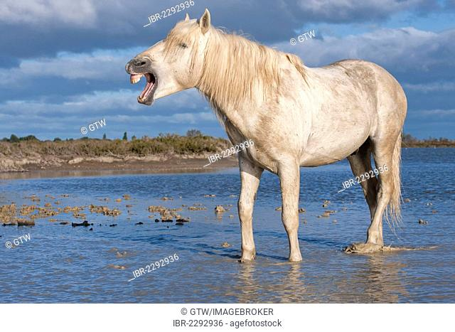 Camargue horse, stallion, flehmen position, Bouches du Rhône, France, Europe