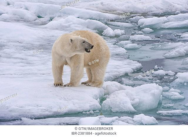 Female Polar bear (Ursus maritimus), Svalbard Archipelago, Barents Sea, Norway, Arctic