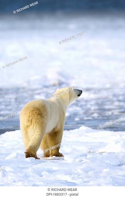 Polar Bear Ursus Maritimus Sniffs The Air As He Is On The Hunt For Food, Churchill, Manitoba, Canada